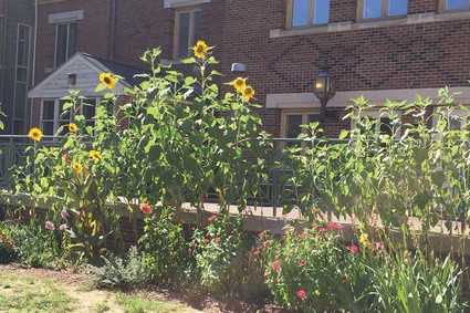 Admissions Building gardens with tall sunflowers